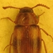 escarabajo_alfitofago.jpg