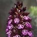 orquidea_de_la_dama.jpg