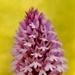 orquidea_piramidal.jpg