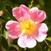 rosal_silvestre.jpg